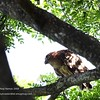 """PHILIPPINE EAGLE OWL <i>Bubo philippensis</i> Sierra Madre, Nueva Ecija  This picture shows a very interesting profile of the Philippine Eagle Owl. In my opinion it looks a bit similar to the Philippine Eagle from this angle.  More pictures of this bird in the <a href=""""http://tonjiandsylviasbirdlist.smugmug.com/gallery/8087542_6gSvo/1/527115318_wUvNS"""">Philippine Eagle Owl gallery</a>"""