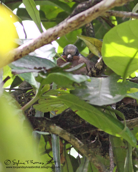 """WHITE EARED BROWN DOVE <i>Phapitreron leucotis</i> Sierra Madre, Nueva Ecija  More pictures of this bird in the <a href=""""http://tonjiandsylviasbirdlist.smugmug.com/gallery/7778796_U3Bwn/1/527982735_w5Fe4""""> White Eared Brown Dove gallery</a>"""