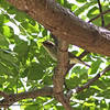 "ARCTIC WARBLER <i>Phylloscopus borelis</i> Sierra Madre, Nueva Ecija  More pictures of this bird in the <a href=""http://tonjiandsylviasbirdlist.smugmug.com/gallery/7339935_8NEez/1/527986276_pFyNh""> Arctic Warbler gallery</a>"