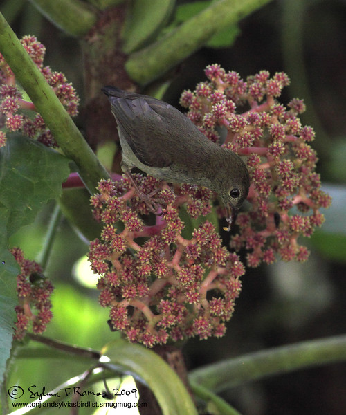 "BUZZING FLOWERPECKER <i>Dicaeum hypoleucum</i> Sierra Madre, Nueva Ecija  More pictures of this bird in the <a href=""http://tonjiandsylviasbirdlist.smugmug.com/gallery/8087582_rd3YM/1/527777280_gxLEA"">Buzzing Flowerpecker gallery</a>"
