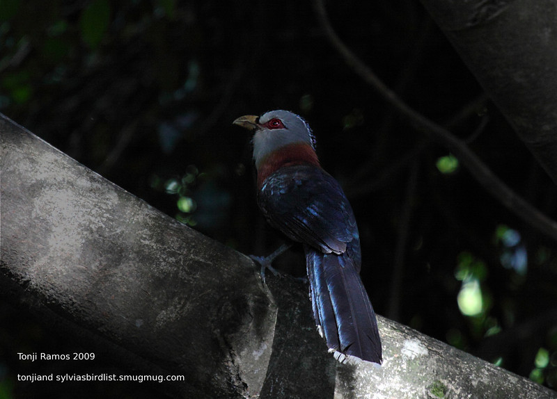 "SCALE FEATHERED MALKOHA <i>Lepidogrammus cumingi</i> Sierra Madre, Nueva Ecija  More pictures of this bird in the <a href=""http://tonjiandsylviasbirdlist.smugmug.com/gallery/7946455_6gUNV/1/527058258_BmAG8"">Scale Feathered Malkoha gallery</a>"