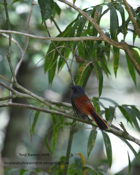 "BLUE-HEADED FANTAIL <i>Rhipidura cyaniceps</i> Sierra Madre, Nueva Ecija  More pictures of this bird in the <a href=""http://tonjiandsylviasbirdlist.smugmug.com/gallery/8095604_h8Fgf/1/527909743_Cbrfy"">Blue-Headed Fantail gallery</a>"
