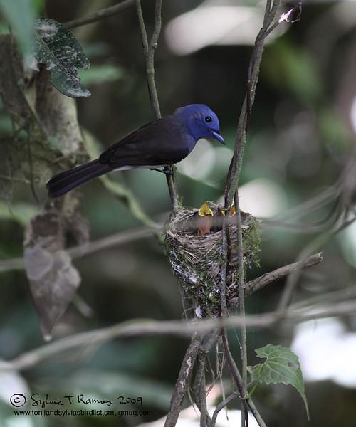 "BLACK NAPED MONARCH <i>Hypothymis azurea</i> Sierra Madre, Nueva Ecija  More pictures of this bird in the <a href=""http://tonjiandsylviasbirdlist.smugmug.com/gallery/8087524_NqeGQ/1/527218854_w9qvY"">Black Naped Monarch gallery</a>"