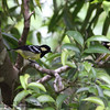 "ELEGANT TIT <i>Parus elegans</i> Sierra Madre, Nueva Ecija  More pictures of this bird in the <a href=""http://tonjiandsylviasbirdlist.smugmug.com/gallery/7389093_koDzd/1/527949223_bcbD8"">Elegant Tit gallery</a>"