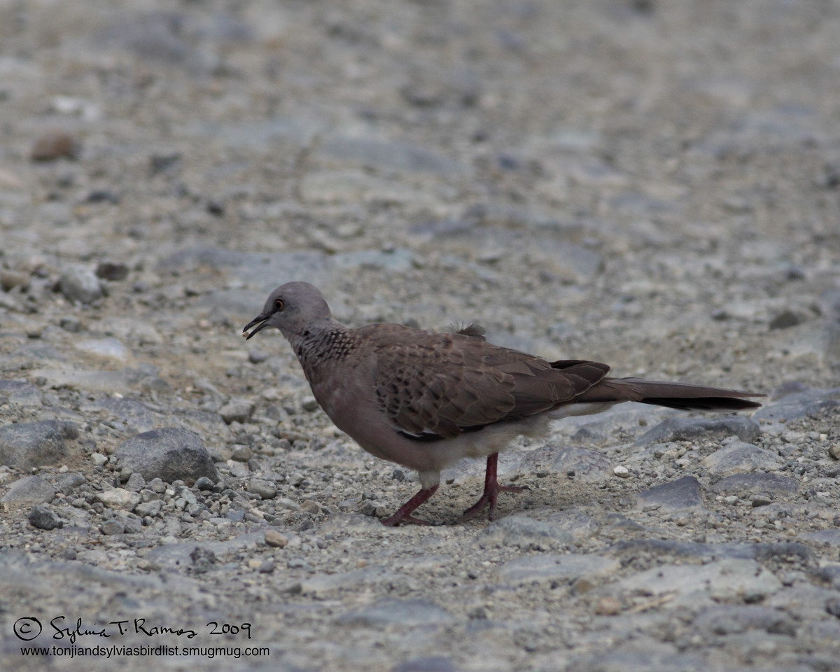 """SPOTTED DOVE <i>Streptopelia chinensis</i> Sierra Madre, Nueva Ecija  More pictures of this bird in the <a href=""""http://tonjiandsylviasbirdlist.smugmug.com/gallery/7339973_ydju9/1/527763893_fiV2W"""">Spotted Dove gallery</a>"""