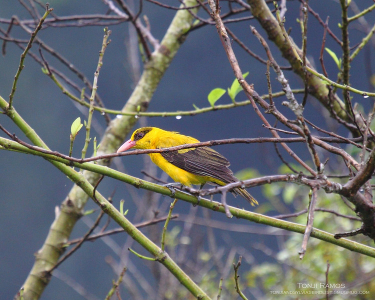"""BLACK NAPED ORIOLE <i>Oriolus chinensis</i> Sta. Elena Golf Club, Philippines  The branches are dripping wet and this Oriole is waiting for the sunrise.  More pictures of this bird in the <a href=""""http://tonjiandsylviasbirdlist.smugmug.com/gallery/7302871_93i4H/1/553823165_ZGdVt"""">Black Naped Oriole gallery</a>"""
