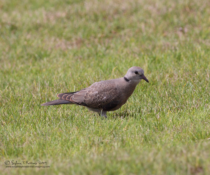 """RED TURTLE DOVE, female <i>Streptopelia tranquebarica</i> Sta. Elena Golf Club, Philippines  More pictures of this bird in the <a href=""""http://tonjiandsylviasbirdlist.smugmug.com/gallery/7346724_cj7w9/1/479296125_kUyuy"""">Red Turtle Dove gallery</a>"""