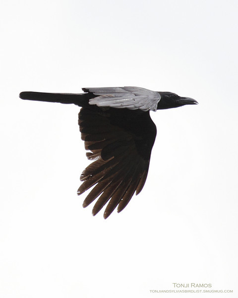 """LARGE BILLED CROW <i>Corvus macrorhynchos</i> Sta. Elena Golf Club, Philippines  As the crow flies...  More pictures of this bird in the <a href=""""http://tonjiandsylviasbirdlist.smugmug.com/gallery/7353990_wXjPz/1/492529625_2HpJu"""">Large-Billed Crow gallery</a>"""