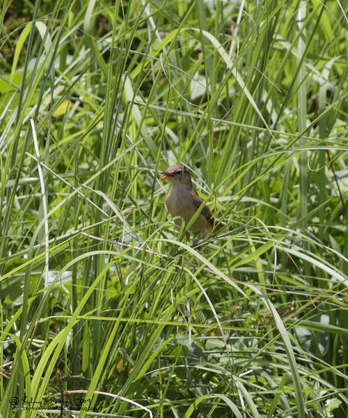 "TAWNY GRASSBIRD <i>Megalurus timoriensis</i> Sta. Elena Golf Club, Philippines  More pictures of this species in the <a href=""http://tonjiandsylviasbirdlist.smugmug.com/gallery/7388801_RTQ3i/1/554586279_fepLF"">Tawny Grassbird gallery</a>"