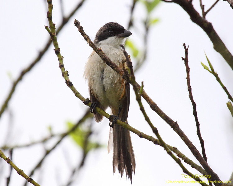 """LONG TAILED SHRIKE <i>Lanius schach</i> Sta. Elena Golf Club, Philippines  It was raining all night and early in the morning....  More pictures of this bird in the <a href=""""http://tonjiandsylviasbirdlist.smugmug.com/gallery/7302460_FLmk8/1/469619391_vwJJA"""">Long Tailed Shrike gallery</a>"""