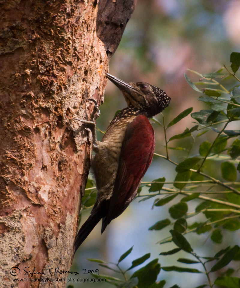 """GREATER FLAMEBACK <i>Chrysocolaptes lucidus</i> Subic, Zambales, Philippines  More pictures of this bird in the <a href=""""http://tonjiandsylviasbirdlist.smugmug.com/gallery/7605290_2VrTT/1/492528196_mgbcQ"""">Greater Flameback gallery</a>"""