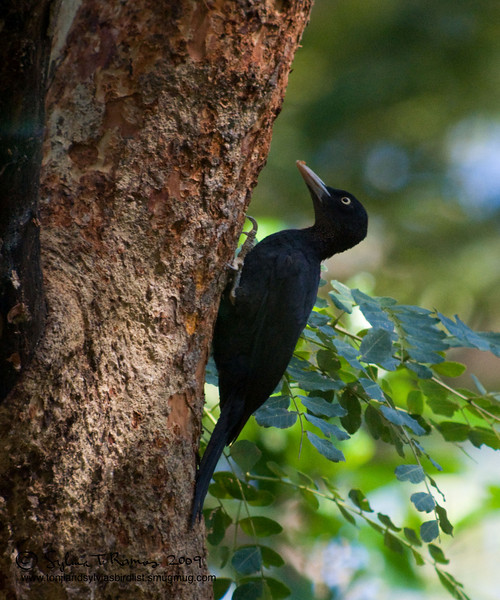 """SOOTY WOODPECKER <i>Mullerpicus funebris</i> Subic, Zambales, Philippines  More pictures of this bird in the <a href=""""http://tonjiandsylviasbirdlist.smugmug.com/gallery/7605166_mfJ5K/1/492528591_xaoLB"""">Sooty Woodpecker gallery</a>"""