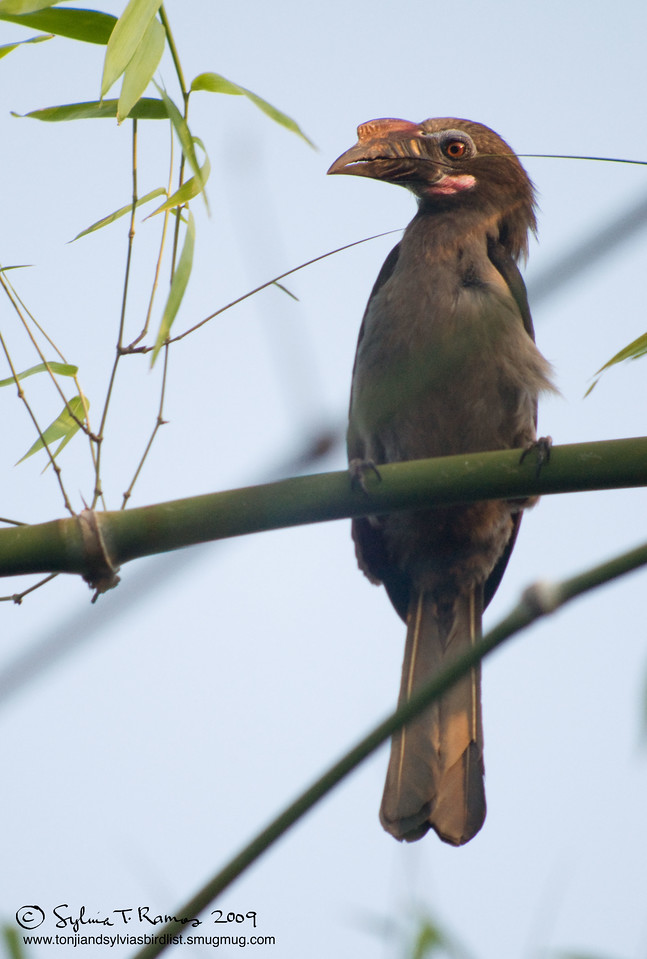 """TARICTIC HORNBILL <i>Penelopides manillae</i> Subic, Zambales, Philippines  More pictures of this bird in the <a href=""""http://tonjiandsylviasbirdlist.smugmug.com/gallery/7605031_7YCN3/1/492526513_tLoAY"""">Tarictic Hornbill gallery</a>"""