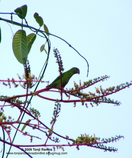 """PHILIPPINE HANGING PARROT aka COLASISI <i>Loriculus philippensis</i> Subic, Zambales, Philippines  More pictures of this bird in the <a href=""""http://tonjiandsylviasbirdlist.smugmug.com/gallery/7384095_NfV76/1/475549858_Fbjao"""">Colasisi gallery</a>"""