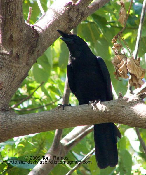 """LARGE BILLED CROW <i>Corvus macrorhynchos</i> Subic, Zambales, Philippines  More pictures of this bird in the <a href=""""http://tonjiandsylviasbirdlist.smugmug.com/gallery/7353990_wXjPz/1/492529625_2HpJu"""">Large Billed Crow gallery</a>"""