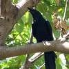 "LARGE BILLED CROW <i>Corvus macrorhynchos</i> Subic, Zambales, Philippines  More pictures of this bird in the <a href=""http://tonjiandsylviasbirdlist.smugmug.com/gallery/7353990_wXjPz/1/492529625_2HpJu"">Large Billed Crow gallery</a>"