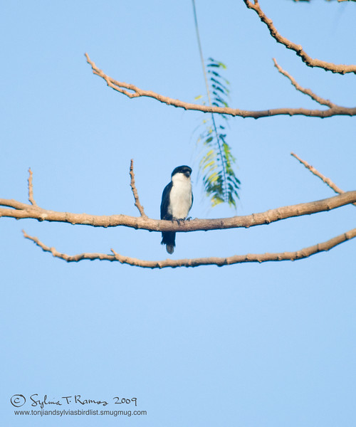 """PHILIPPINE FALCONET <i>Microhierax erythrogenys</i> Subic, Zambales, Philippines  More pictures of this bird in the <a href=""""http://tonjiandsylviasbirdlist.smugmug.com/gallery/7603953_s6fjW/1/491638567_CrkXe"""">Philippine Falconet gallery</a>"""