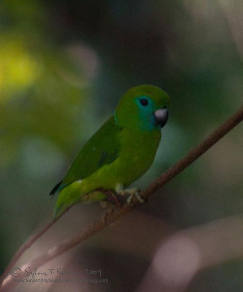 "GUAIABERO  <i>Bolpopsittacus lunulatus</i> Subic, Zambales, Philippines  More pictures of this bird in the <a href=""http://tonjiandsylviasbirdlist.smugmug.com/gallery/7382503_odzdD/1/492524485_VCzEa"">Guaiabero gallery</a>"