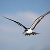 "SOOTY TERN <i>Sterna Fuscata</i> Tubbataha, Sulu Sea  more pictures in the <a href=""http://tonjiandsylviasbirdlist.smugmug.com/List/terns/Sooty-Tern/17044399_WqRPKt"">Sooty Tern gallery</a>"
