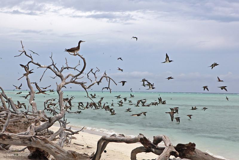 "BROWN BOOBY <i>Sula leucogaster</i> Tubbataha Reef, Sulu Sea  more pictures in the <a href=""http://tonjiandsylviasbirdlist.smugmug.com/List/Boobies/BB/17030603_9dhNHb"">Brown Booby gallery</a>  Brown Boobies taking flight over the clear aquamarine waters around Bird Island."