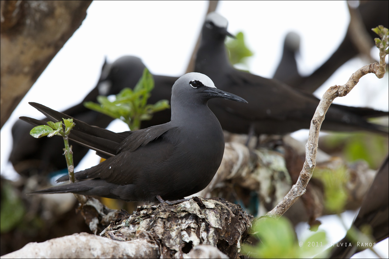 "BLACK NODDY on a nest <i>Anous minutus</i> Tubbataha Reef, Sulu Sea, Philippines  more pictures in the <a href=""http://tonjiandsylviasbirdlist.smugmug.com/List/terns/Black-Noddy/17042821_NtBZds"">Black Noddy gallery</a>"