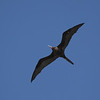 GREAT FRIGATEBIRD, adult male <i>Fregata minor</i> Tubbataha Reef, Sulu Sea, Philippines  more pictures in the