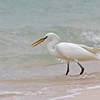 CHINESE EGRET <i>Egretta eulophotes</i> Tubbataha Reef, Sulu Sea  A rare sea bird in a uniquely rare sanctuary.  Some believe only 3000 birds are left world wide.