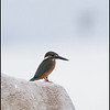 "COMMON KINGFISHER <i>Alcedo atthis</i> Coastal, Manila Bay, Philippines  more pictures in the <a href=""http://tonjiandsylviasbirdlist.smugmug.com/List/Kingfishers/Common-Kingfisher/7346748_ujyou"">Common Kingfisher gallery</a>"