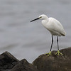 "LITTLE EGRET  <i>Egretta garzetta</i>  Coastal Road Lagoon, Manila Bay, Philippines  more pictures in the <a href=""http://tonjiandsylviasbirdlist.smugmug.com/The-Bird-List/Egrets/Little-Egret/7286691_wSkxY/1/653263416_wPJTx"">Little Egret gallery</a>"