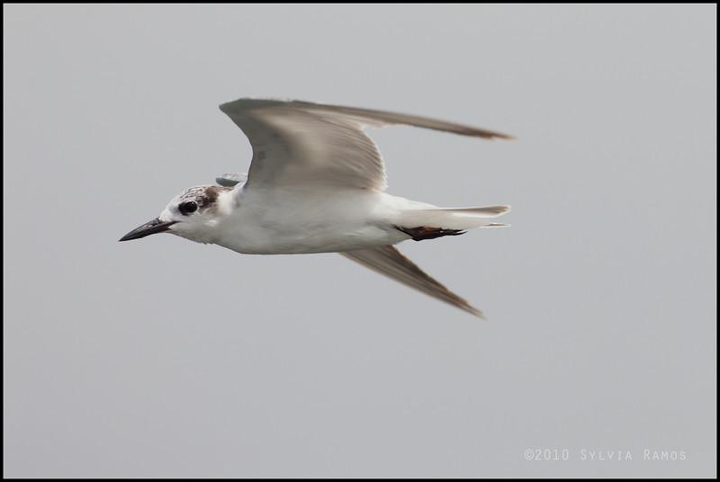 "WHISKERED TERN <i>Chilidonias hybridus</i>  Coastal, Manila Bay, Philippines  more pictures in the <a href=""http://tonjiandsylviasbirdlist.smugmug.com/List/gt/Whiskered-Tern/7286474_9QDyc"">Whiskered Tern gallery</a>"