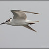 "WHISKERED TERN <i>Chilidonias hybridus</i>  Coastal, Manila Bay, Philippines  more pictures in the <a href=""http://tonjiandsylviasbirdlist.smugmug.com/List/gt/Whiskered-Tern/7286474_9QDyc"">Whiskered Tern gallery</a>"