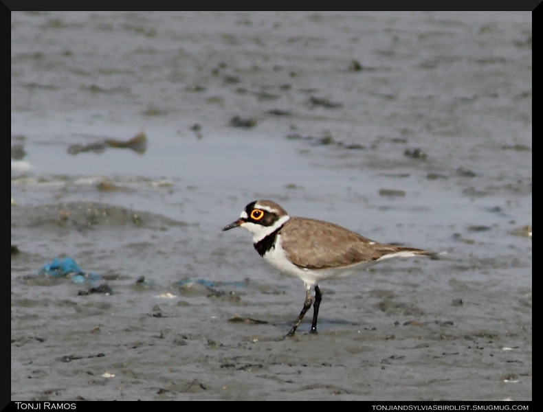 """LITTLE RINGED-PLOVER <i>Charadrius dubius</i> Coastal Lagoon, Manila Bay, Philippines  This is not the best picture but it shows the breeding plumage of this plover.  more pictures in the <a href="""" http://tonjiandsylviasbirdlist.smugmug.com/The-Bird-List/Plovers/Little-Ringed-Plover/9673323_6Cokv/1/649893997_SXAHu"""">Little Ringed Plover Gallery</a>"""