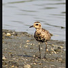 "ASIAN GOLDEN PLOVER <i>Pluvialis fulva</i> Coastal Lagoon, Manila Bay, Philippines  more pictures in the <a href""http://tonjiandsylviasbirdlist.smugmug.com/The-Bird-List/Plovers/Asian-Golden-Plover/7354011_Mb9MM/1/654788596_Rp7u8"">Asian Golden Plover gallery</a>"