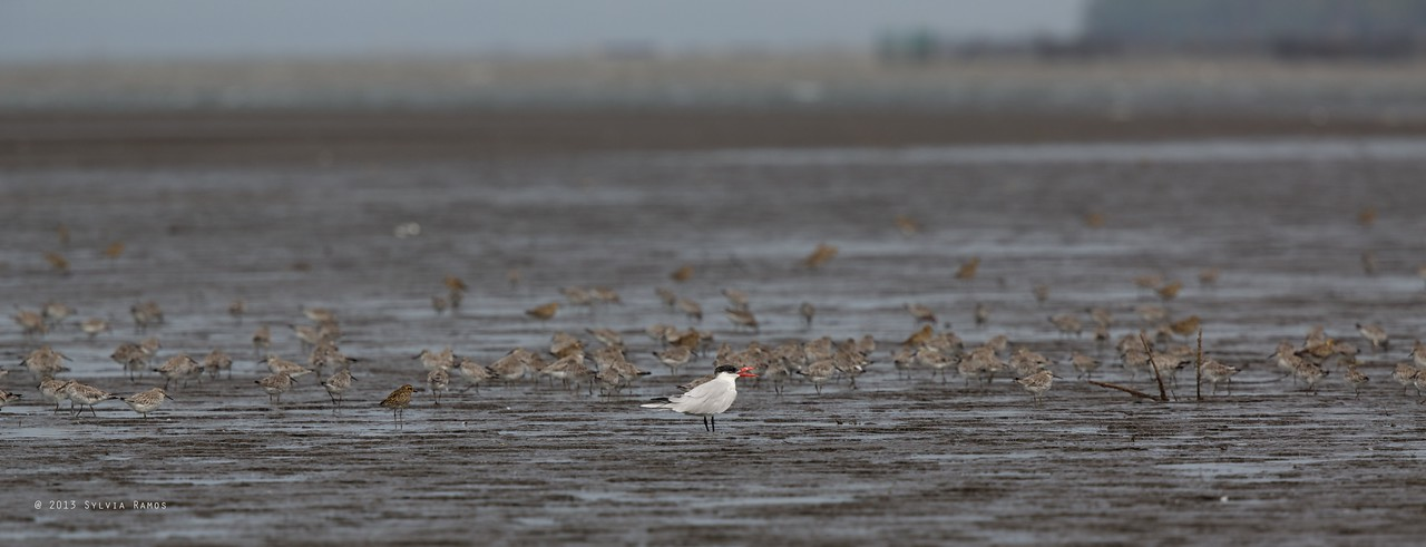 CASPIAN TERN <i>Sterna caspia</i>  with Black-tailed Godwit, Great Knot, and Asian Golden Plover