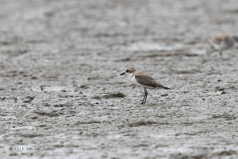 GREATER SAND PLOVER <i>Charadrius leschenaultii</i> Tibsoc, San Enrique, Negros Occidental