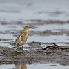 JAVAN POND-HERON <i>Ardeola speciosa</i> Tibsoc, San Enrique, Negros Occidental
