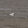 COMMON TERN, non breeding plumage <i>Sterna hirundo</i>