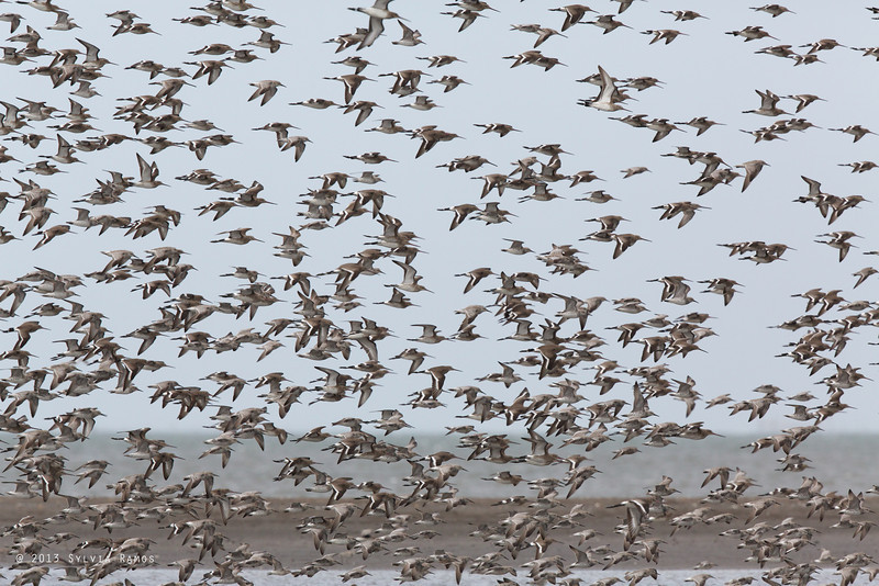 BLACK-TAILED GODWIT in flight with Great Knot <i>Limosa limosa</i>
