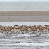 BLACK-TAILED GODWIT with Great Knot <i>Limosa limosa</i>