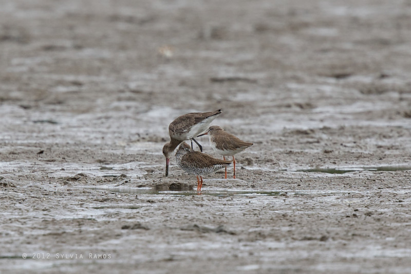 COMMON REDSHANK with Black-tailed Godwit <i>Tringa totanus</i>  two adults, the one in the foreground is coming into breeding plumage