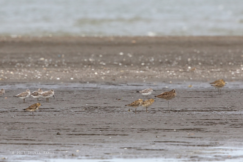 ASIAN GOLDEN PLOVER with Great Knot <i>Pluvialis fulva</i>