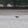 FAR EASTERN CURLEW <i>Numenius madagascariensis</i>