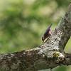 SULPHUR- BILLED NUTHATCH  <i>Sitta oenochlamys ssp zamboanga</i> Baluno, Zamboanga