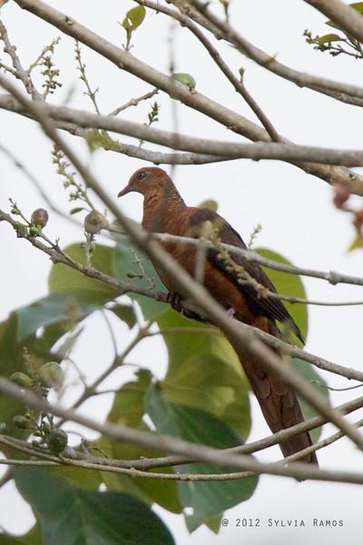 "PHILIPPINE CUCKOO DOVE <i>Macropygia tenuirostris</i> Baluno, Pasonanca, Zamboanga, Philippines  more pictures in the <a href=""http://tonjiandsylviasbirdlist.smugmug.com/List/Doves-and-Pigeons/Philippine-Cuckoo-Dove/8609354_7KbTgn"">Philippine Cuckoo Dove gallery</a>"