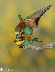 Bee-eater - one of favourite birds with majestic colours.