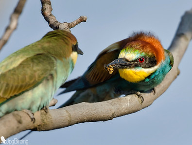 Bee-eater. Feeding on the branch.