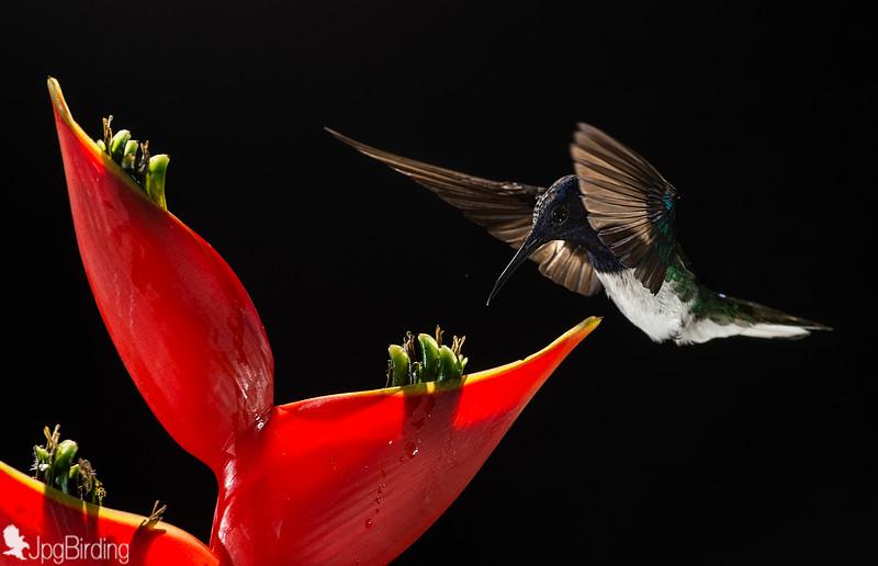 Hummingbird (Costa Rica)