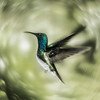 Hummingbird (Costa Rica)