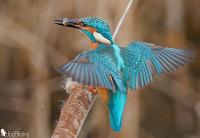 Kingfisher, arriving onto the perche.