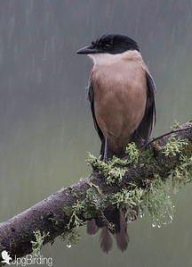 The Azure-winged Magpie (Cyanopica cyanus)